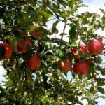 りんごの季節。