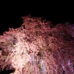 仕事の前に桜見る。