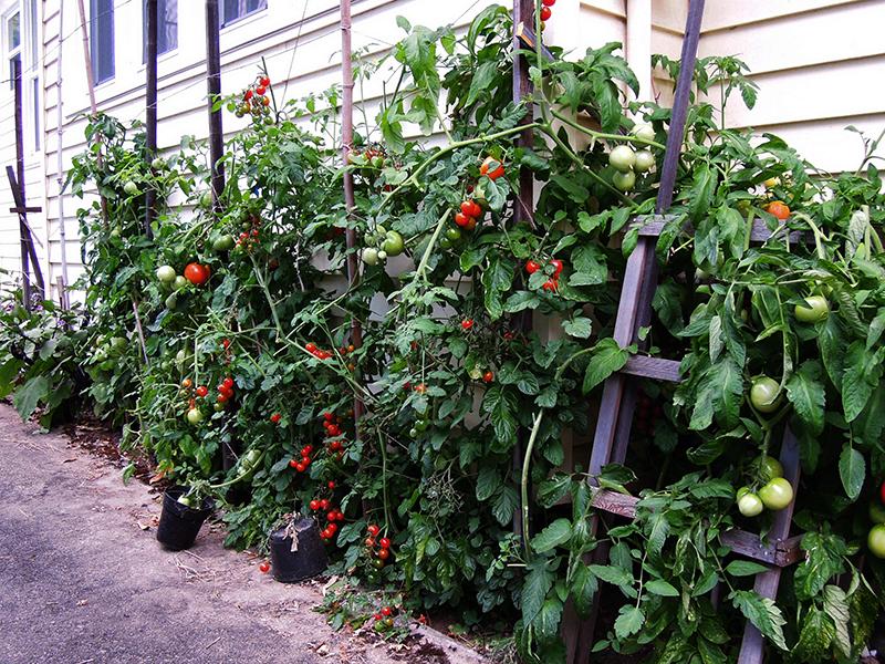 通路際の家庭菜園