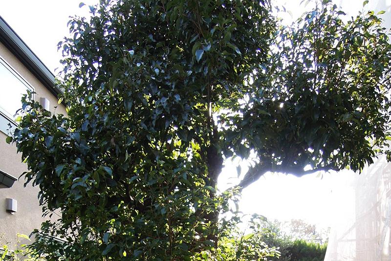 庭を暗くする大きな庭木
