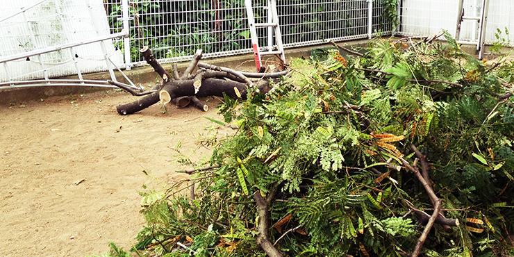 ねむの木の剪定